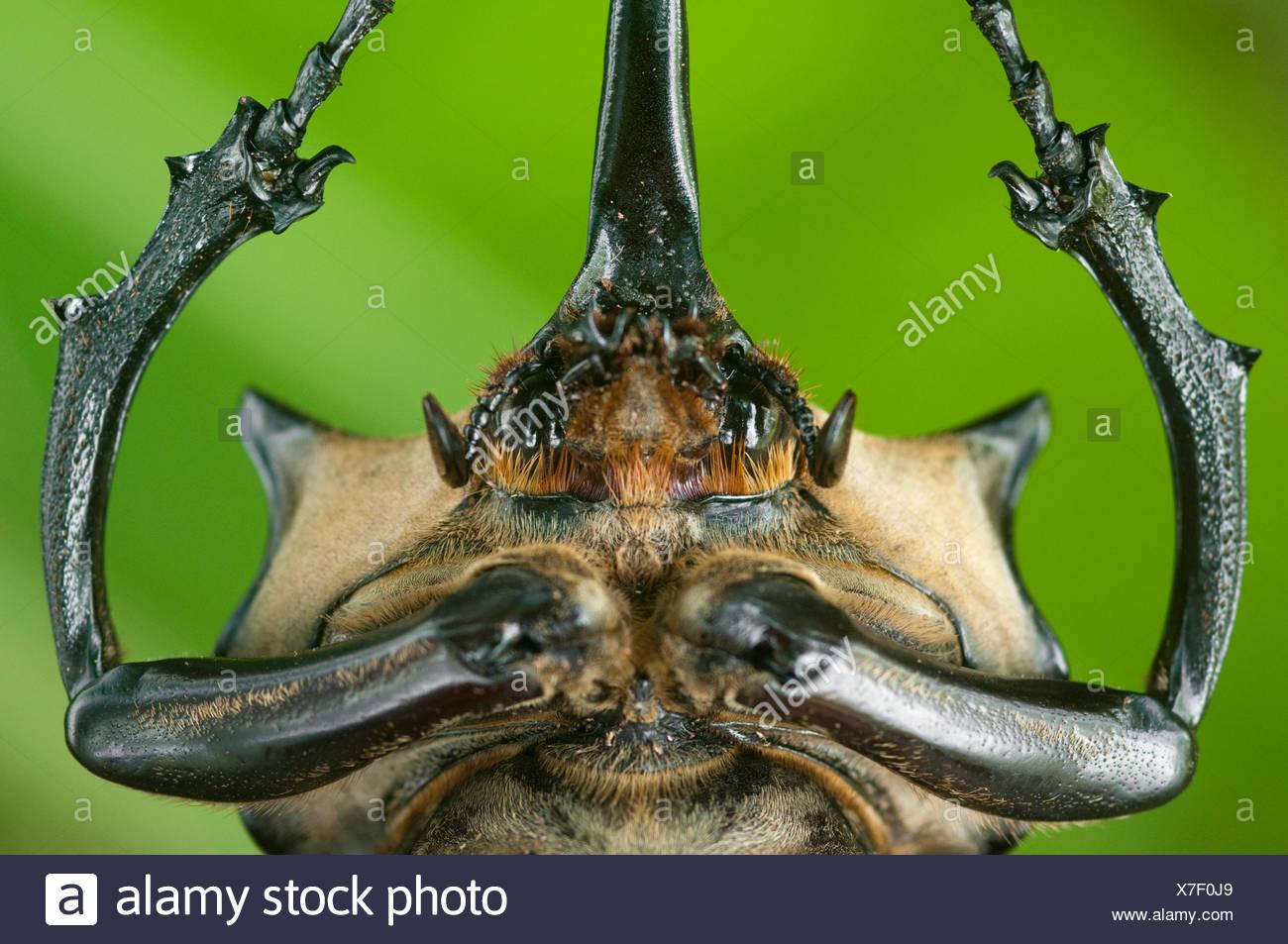 Nahaufnahme von Kopf und Prothorax männlichen Elefanten-Käfer (Megasoma Elephas) mit Hörnern, Santa Rita, Costa Rica Stockbild