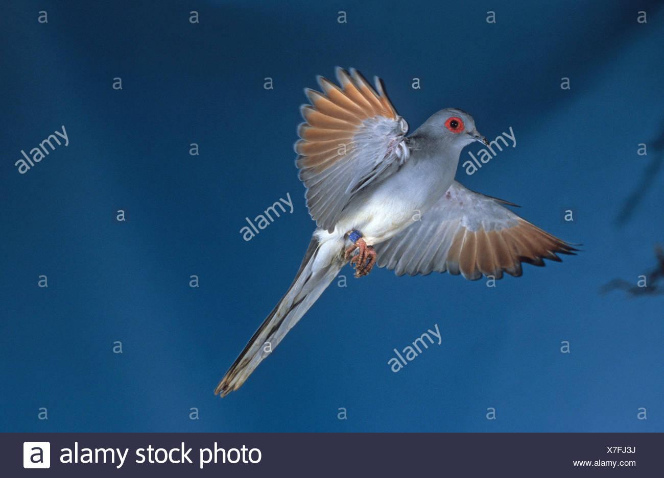Diamond Dove Geopelia Cuneata Gefangen Stockfoto Bild 280011974