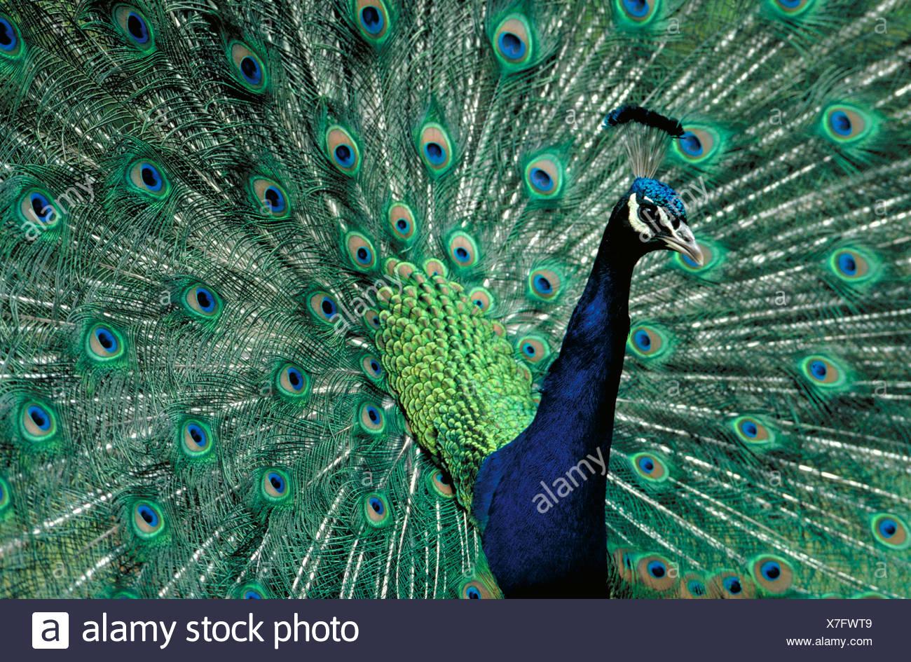 Peacock breitet seine bunten Schwanzfedern. Stockbild