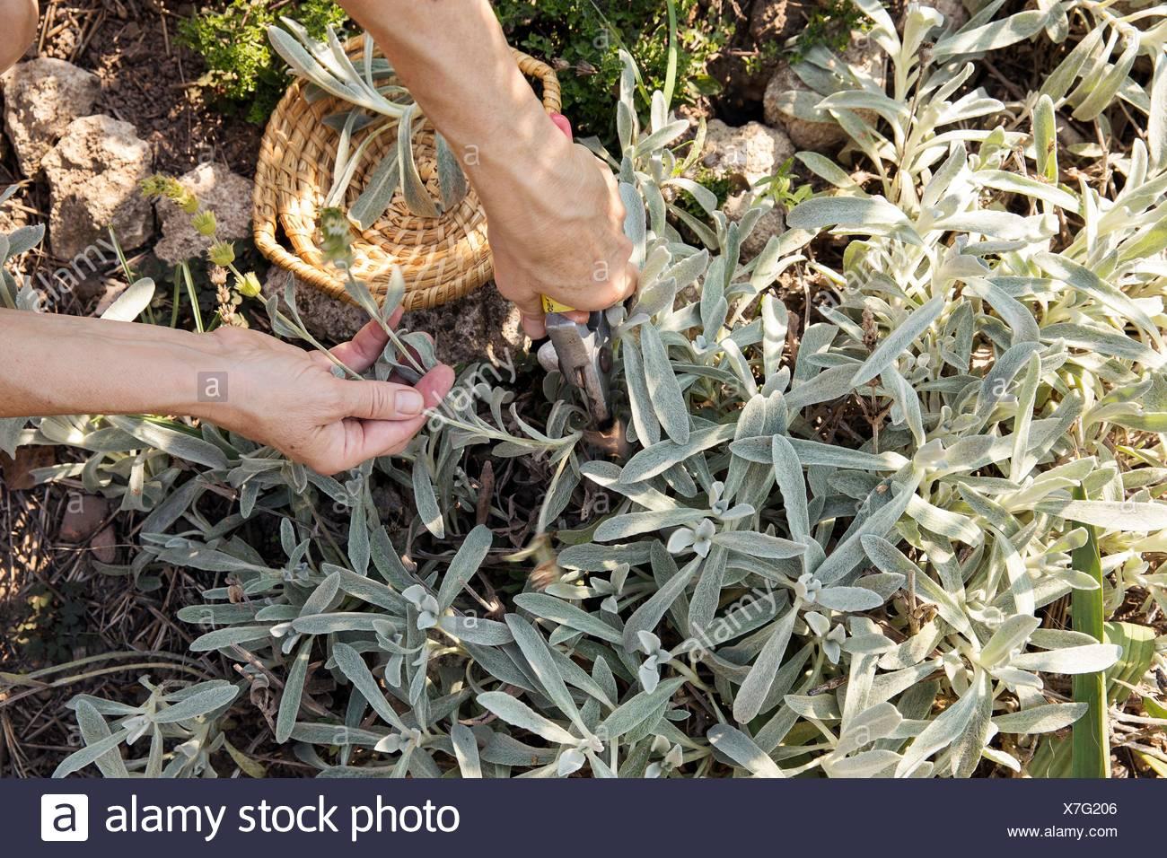 Reife Frau, die Gartenarbeit, Zerlegebetrieb mit Gartenschere, niedrige Abschnitt Stockbild