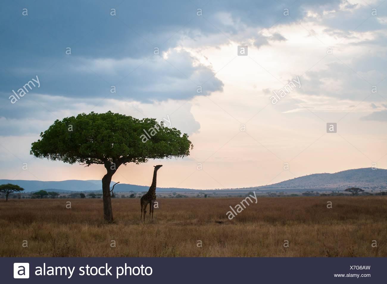 Giraffe für Baum erreichen lässt bei Dämmerung, Masai Mara, Kenia Stockbild