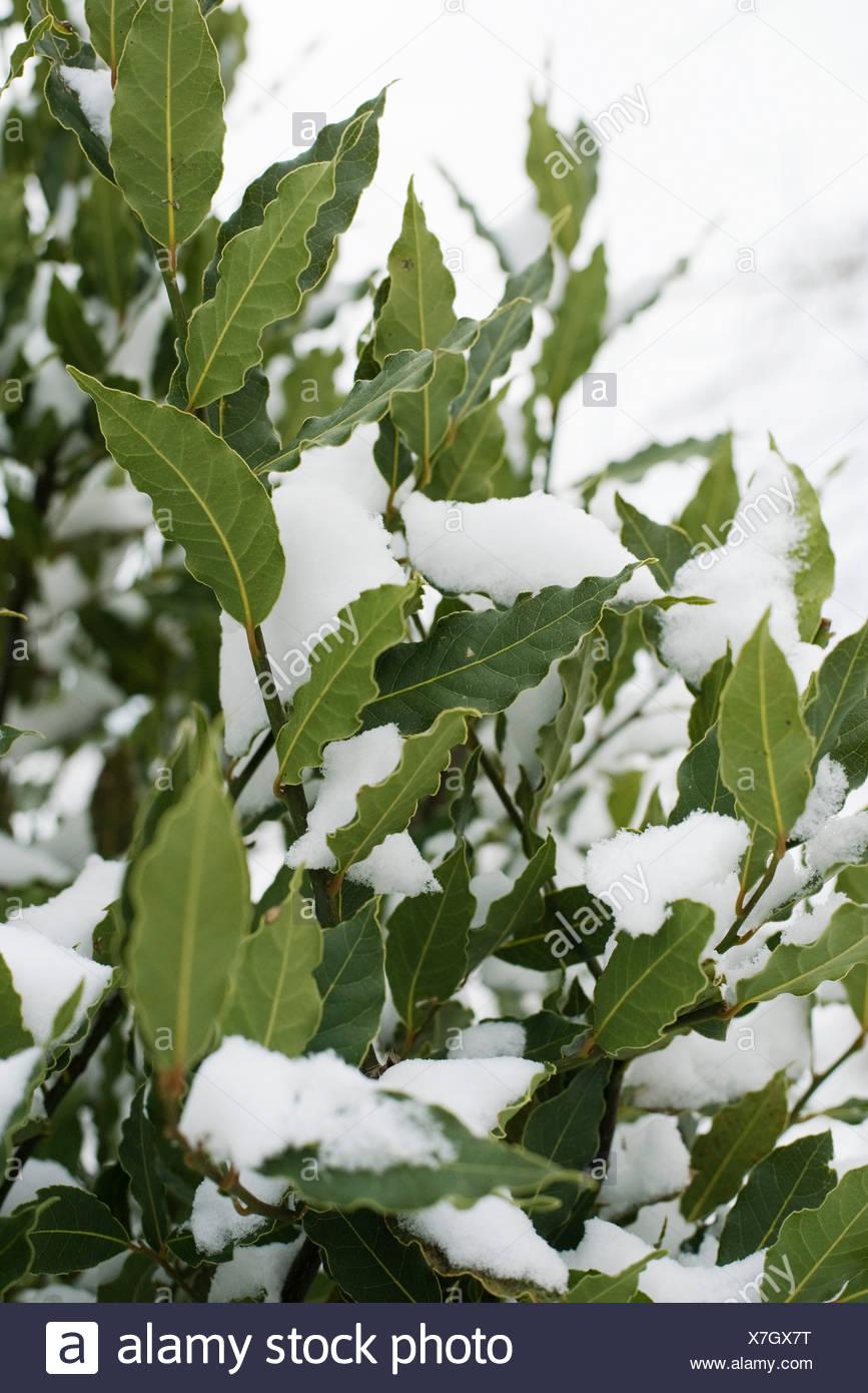 Lorbeer unter Schnee Stockbild