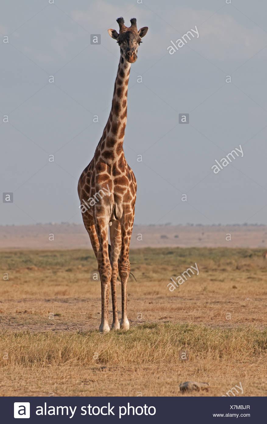 Gemeinsamen Giraffe im Amboseli-Nationalpark Kenia in Ostafrika Stockbild