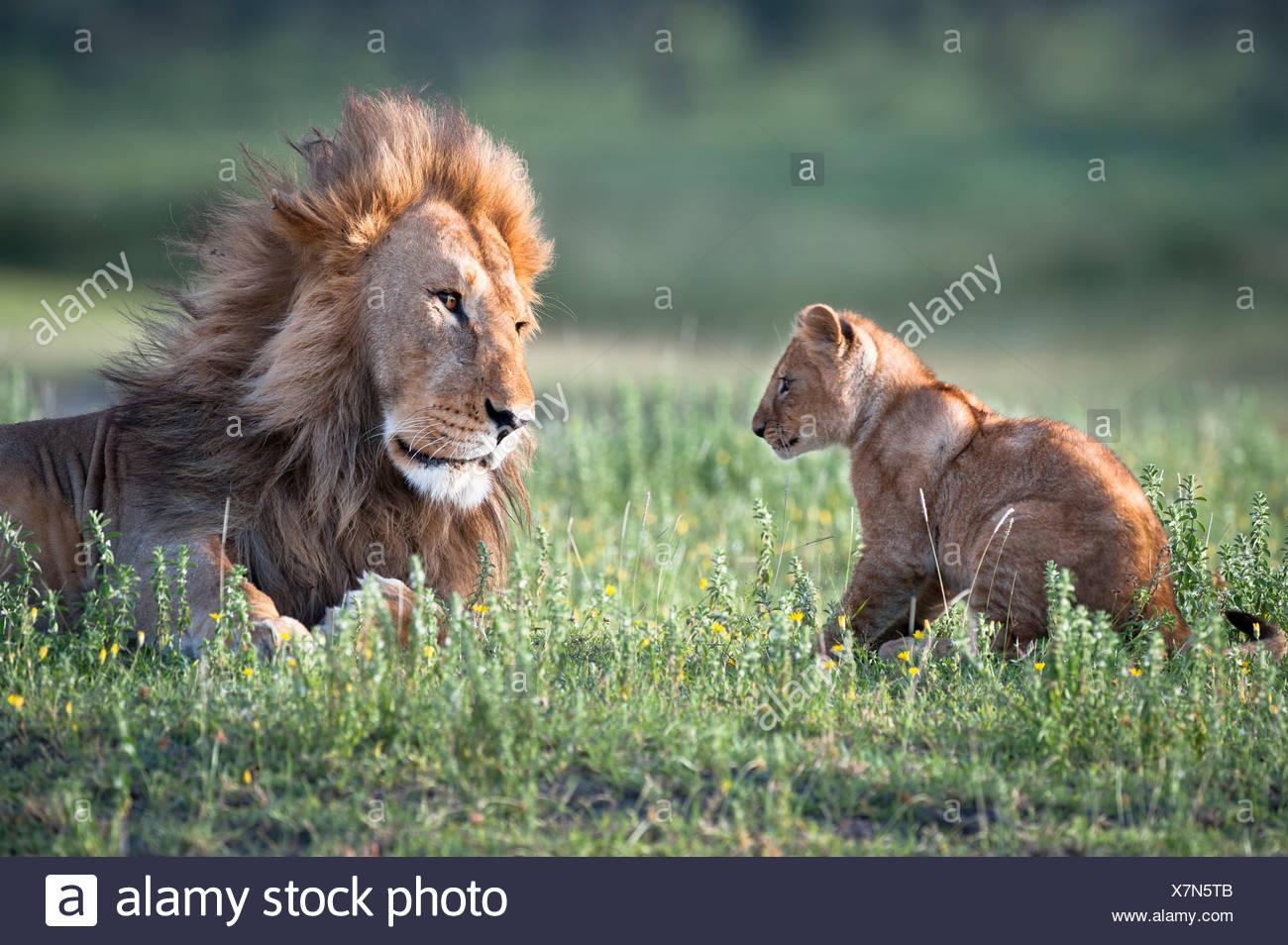 Männlichen afrikanischen Löwen spielen mit 4 Monate alten Jungen, großen Marsh, Ndutu, Serengeti, Tansania Stockbild