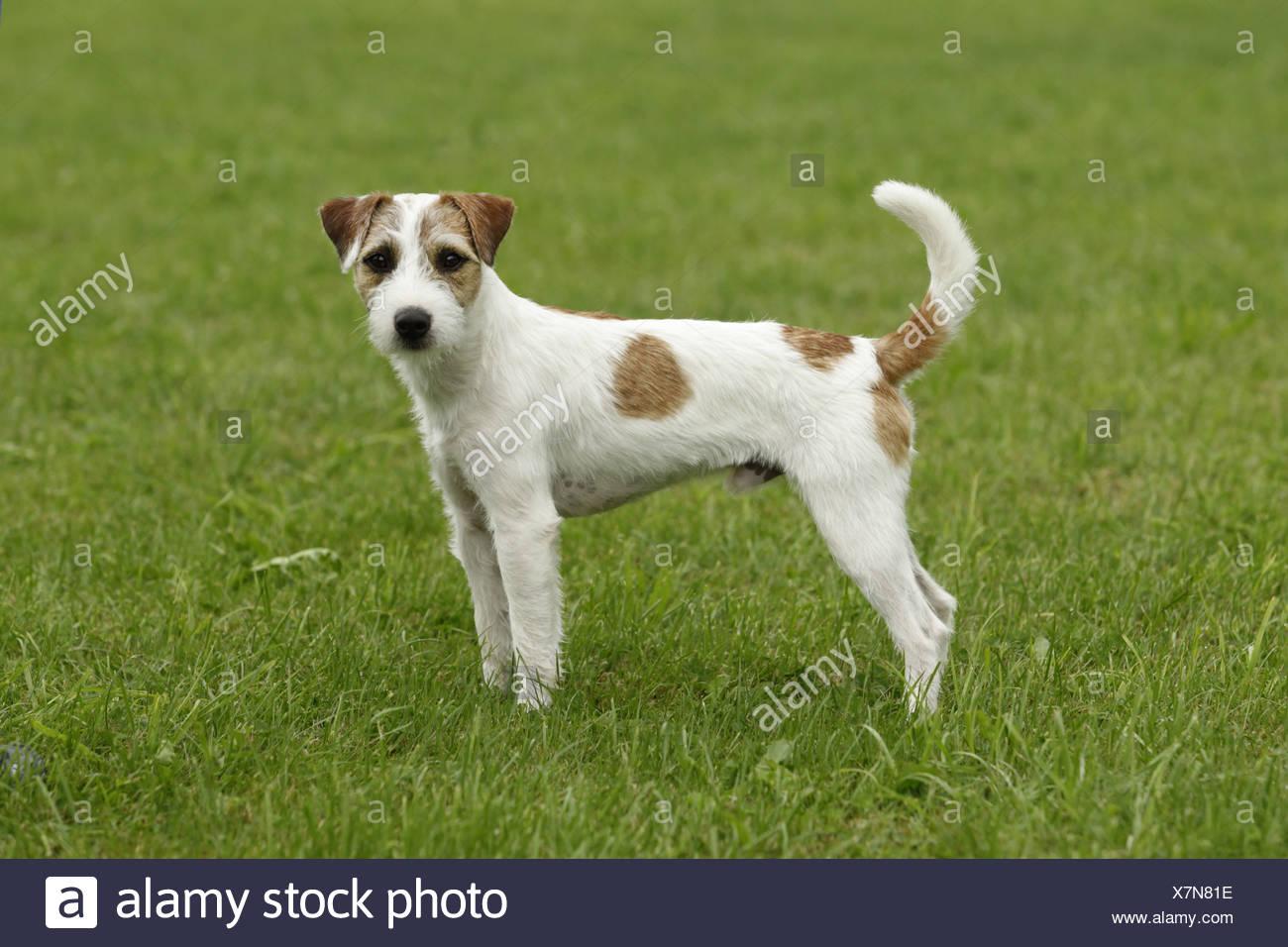 Parson Terrier Stockfotos & Parson Terrier Bilder Alamy
