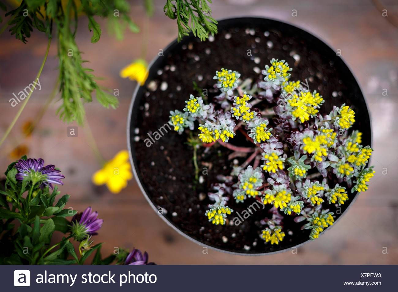Erhöhte Ansicht der Topfpflanze mit kleinen gelben Blättern Stockbild