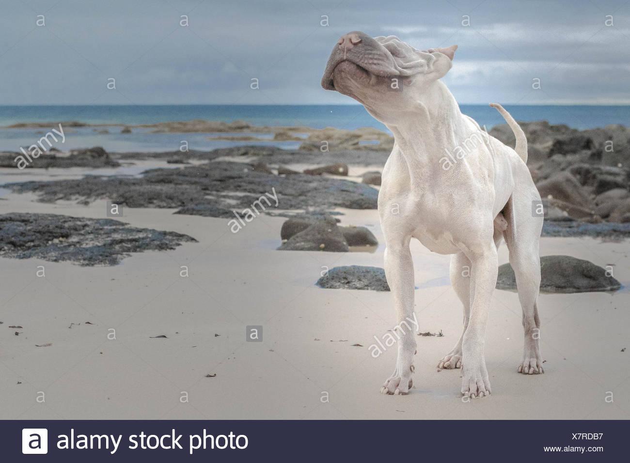 Haarlose Shair-pei stehen am Strand Stockbild