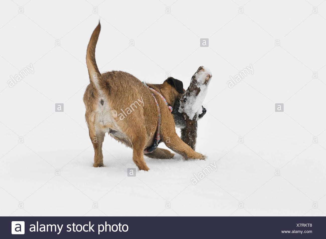 Terrier Mischling holen eine Filiale im Schnee Stockbild