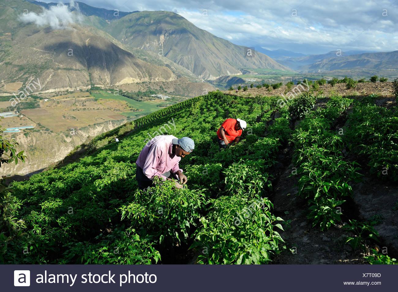 Bauern arbeiten auf einer bewässerten wachsende Paprika (Capsicum Annuum) in das Hochland der Anden, afrikanische-ecuadorianische Gemeinde der Stockbild