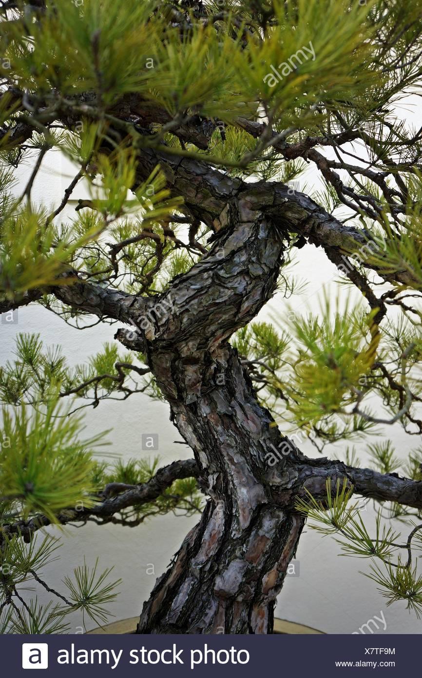 Nahaufnahme der Bonsai-Baum Stockbild