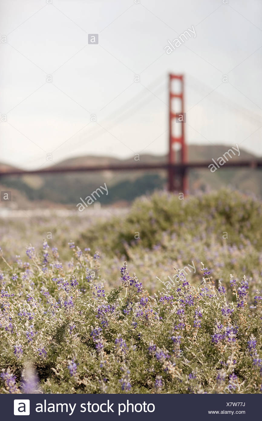 Frühling Wildblumen in eine Wiese und Blick auf die Golden Gate Brücke in San Francisco Bucht Stockbild