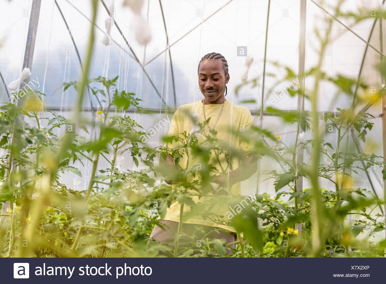Arbeiter Seitentriebe entfernen Tomaten Pflanzen in Hydrokultur Bauernhof in Nevis, West Indies Stockbild