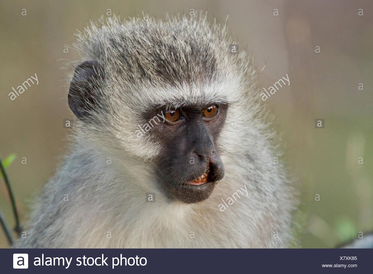 Green Monkey mit Cleft Lip und Gaumenspalte - Kruger Südafrika Stockbild