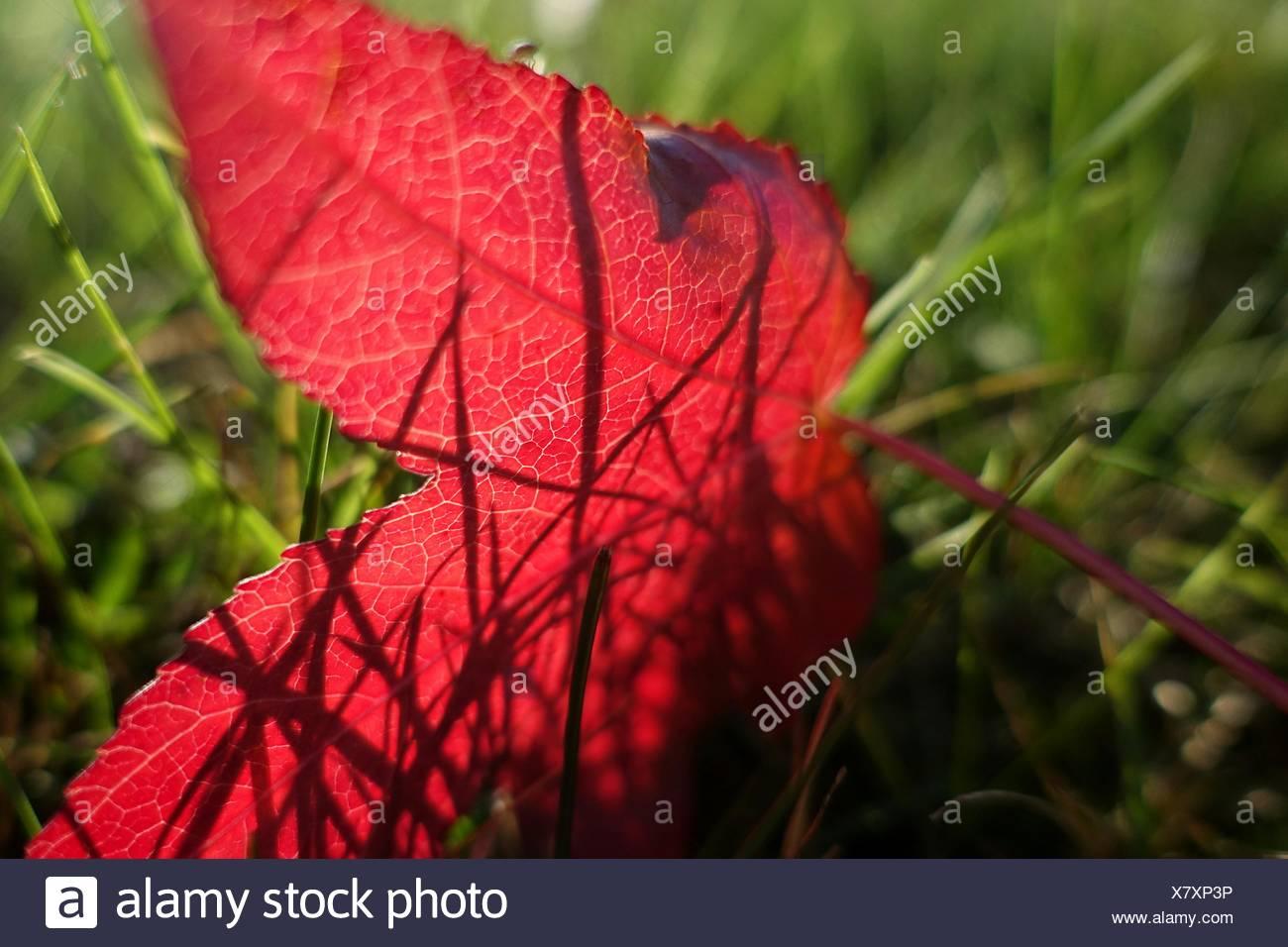 Nahaufnahme von roten Blatt auf Wiese Stockbild