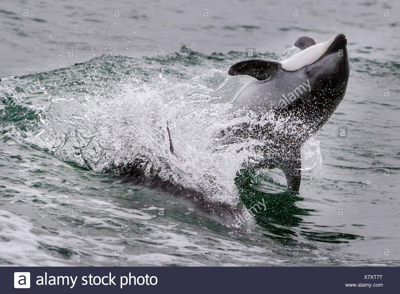 Pacific weiß beidseitig Dolphin jumping, zurück in broughton Archipel Marine Park, British Columbia, Kanada. Stockbild