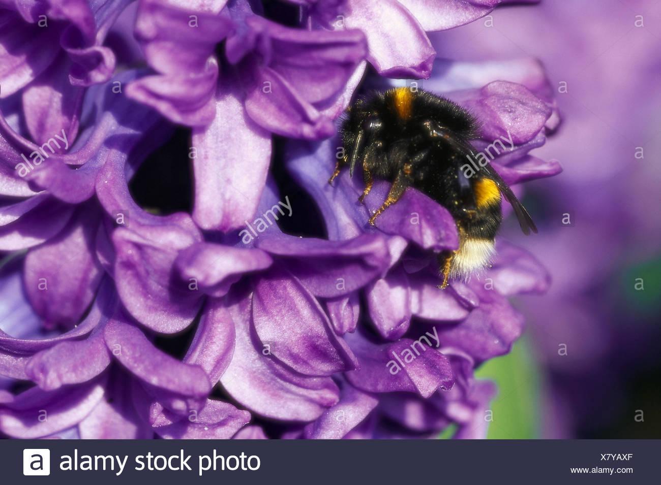 Hyazinthe Hyacinthus Spec Bluten Violett Detail Hummel Pflanze