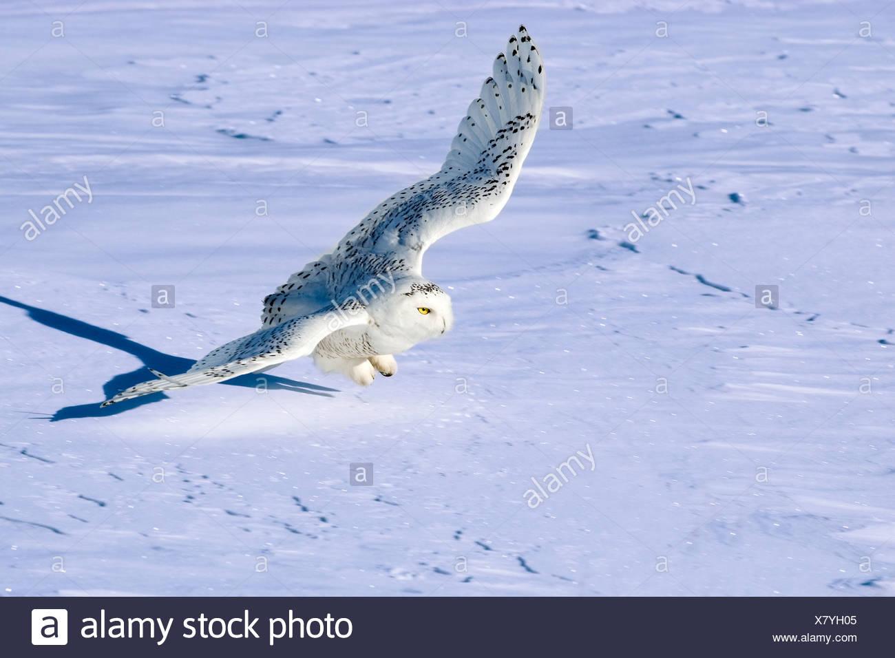 Schnee-Eule (Bubo Scandiaca) Jagd im Winter, Prairie, Alberta, Kanada Stockbild