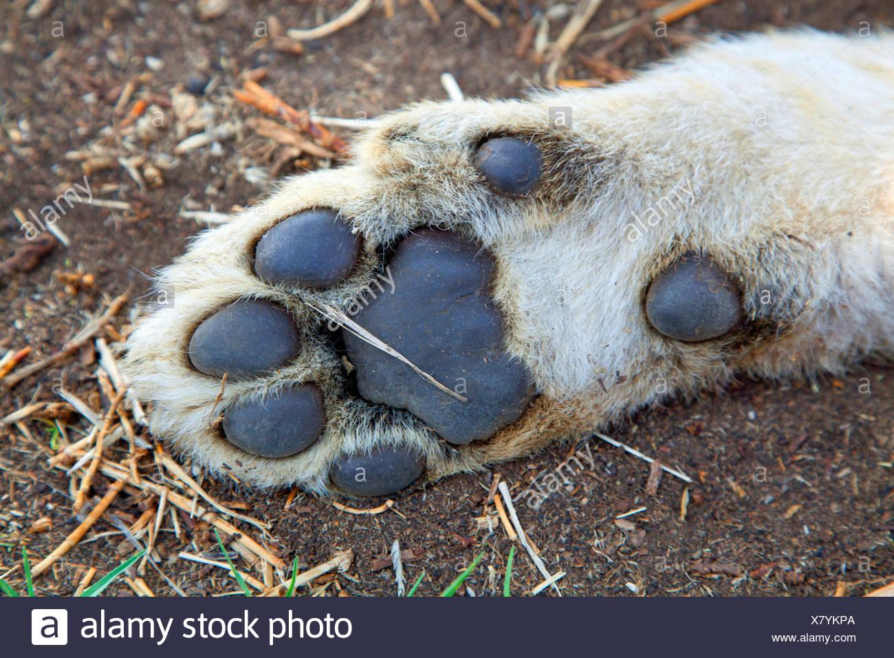 Löwe (Panthera Leo), Löwenjunges, unten von einem Löwen Fuß, Südafrika Stockbild