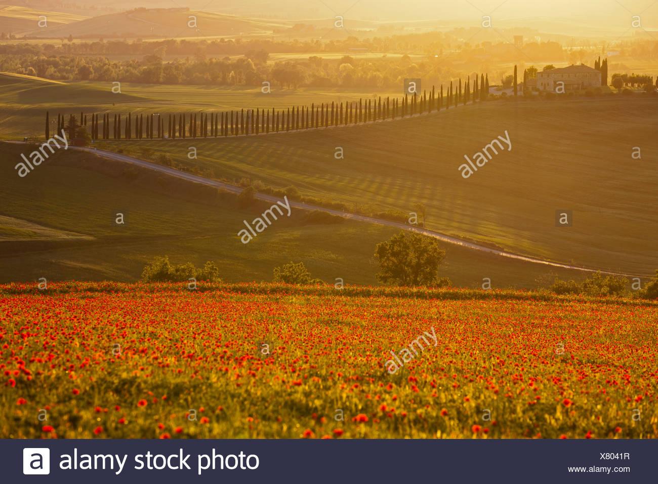Italien, Toskana, Kreta, Ansicht von Mohnfeld vor Bauernhof mit Zypressen bei Sonnenaufgang Stockbild