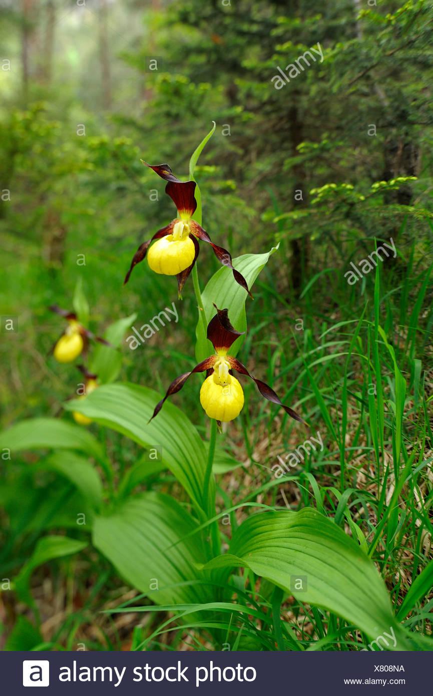 Gelbe Damen Slipper Orchideen (Cypripedium Calceolus) in einem Wald Stockbild
