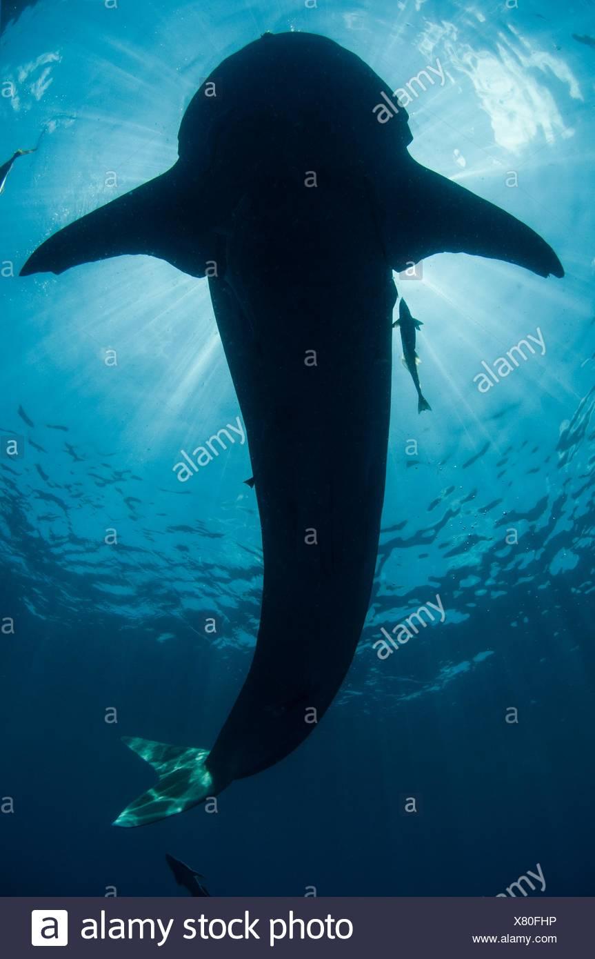 Unterwasser-Blick der Walhai, Isla Mujeres, Quintana Roo, Mexiko Stockbild