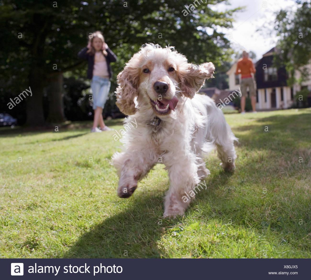 Hund läuft auf Kamera Stockbild
