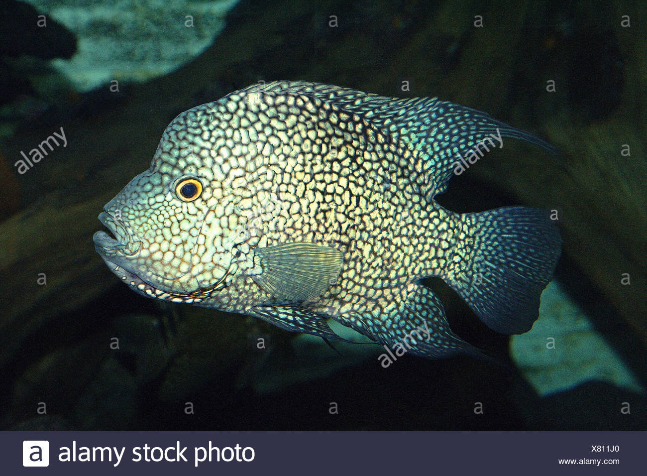 Cichlasoma stockfotos cichlasoma bilder alamy - Aquarium hintergrund ausdrucken ...