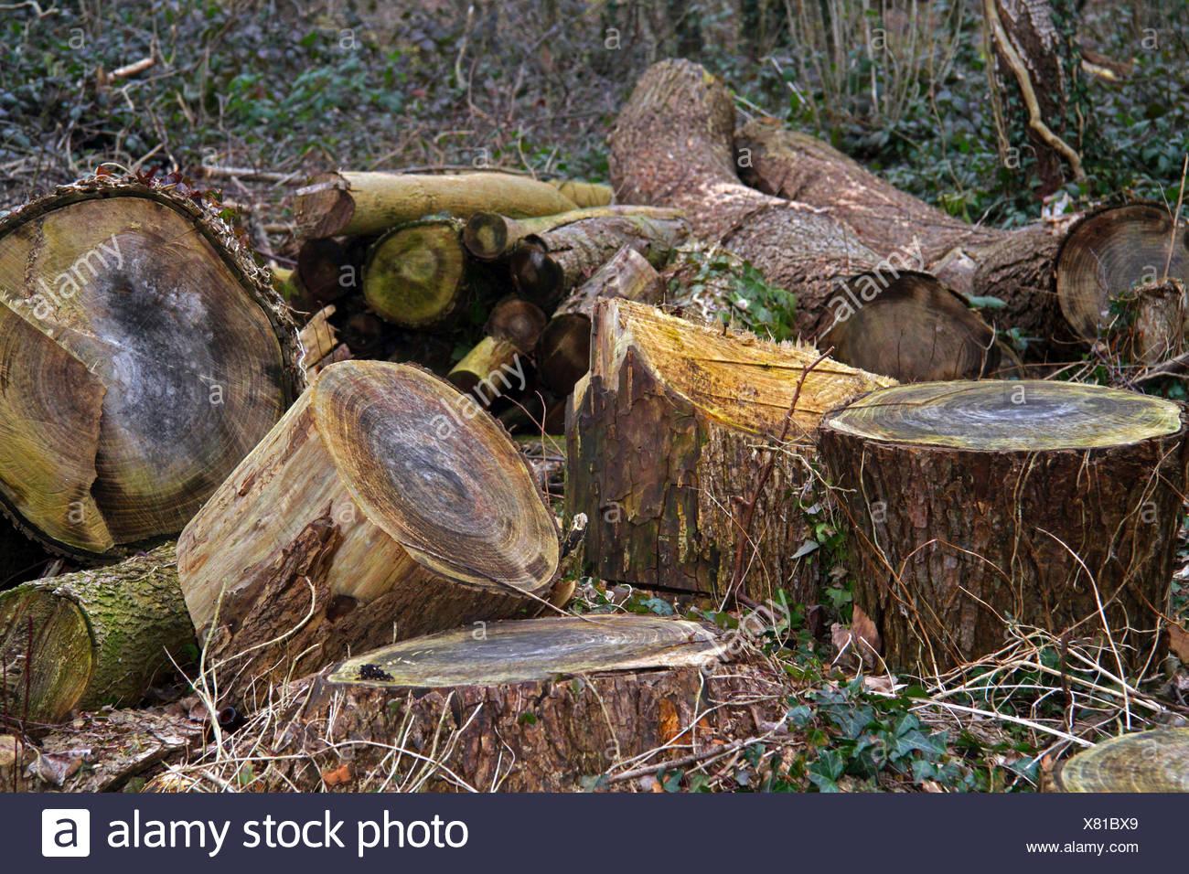 Holzstaemme Im Wald Nach Einer Rodung Im Zweiten Jahr, Deutschland | alte Protokolle in einer Lichtung, Deutschland | BLWS423583.jpg [(C) blic Stockbild