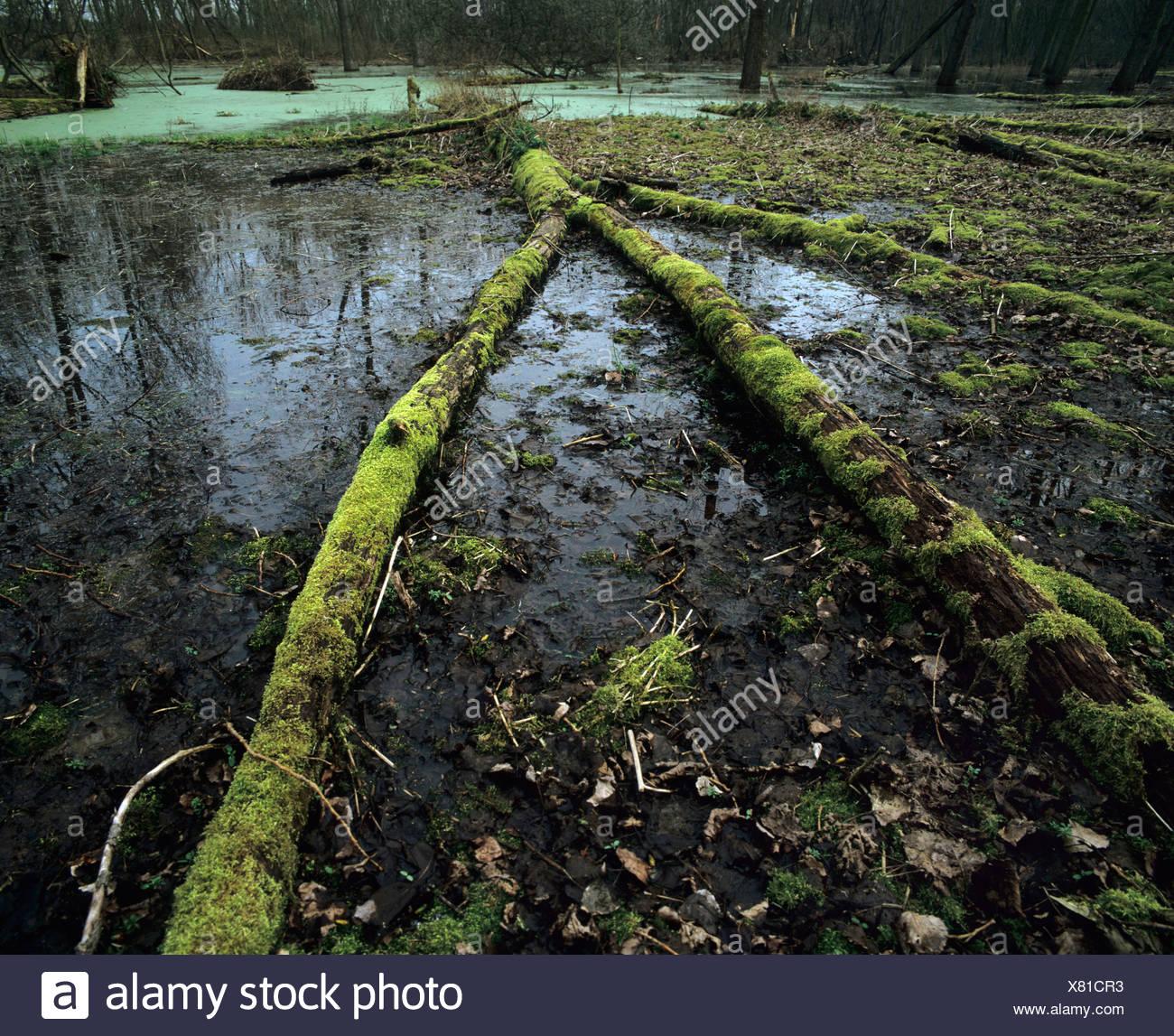 Lebensraum Feuchtgebiet mit Moos bewachsenen Totholz, Dicke Wasserlinsen Teppich hinten Stockbild
