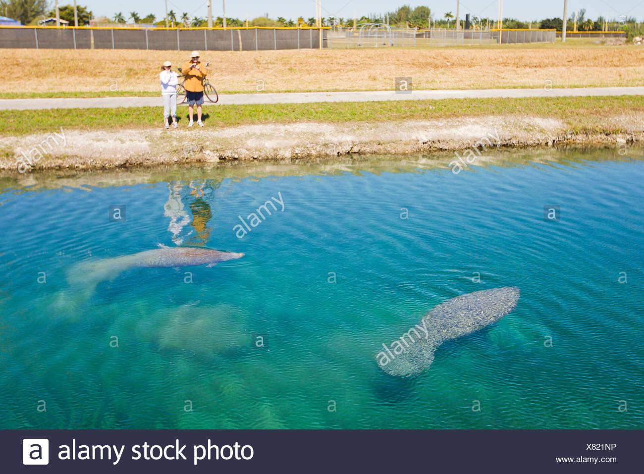 Die Menschen sehen Seekühe in einem Kanal in Homestead schwimmen. Stockbild
