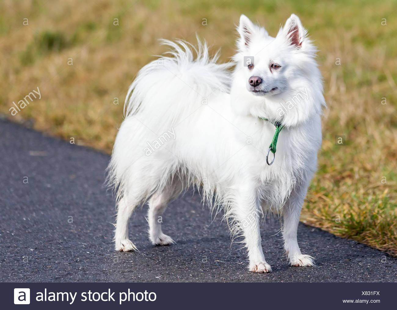 Spitz Hund Stehend Auf Weg Stockfoto Bild 280350222 Alamy