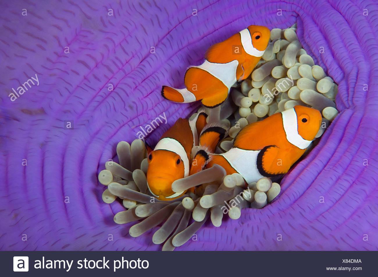 Falscher Clownfisch Stockbild
