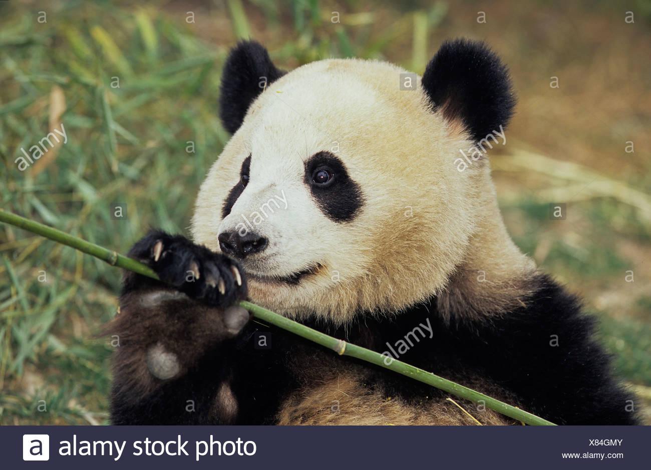 Tolle Süße Panda Malvorlagen Galerie - Druckbare Malvorlagen ...