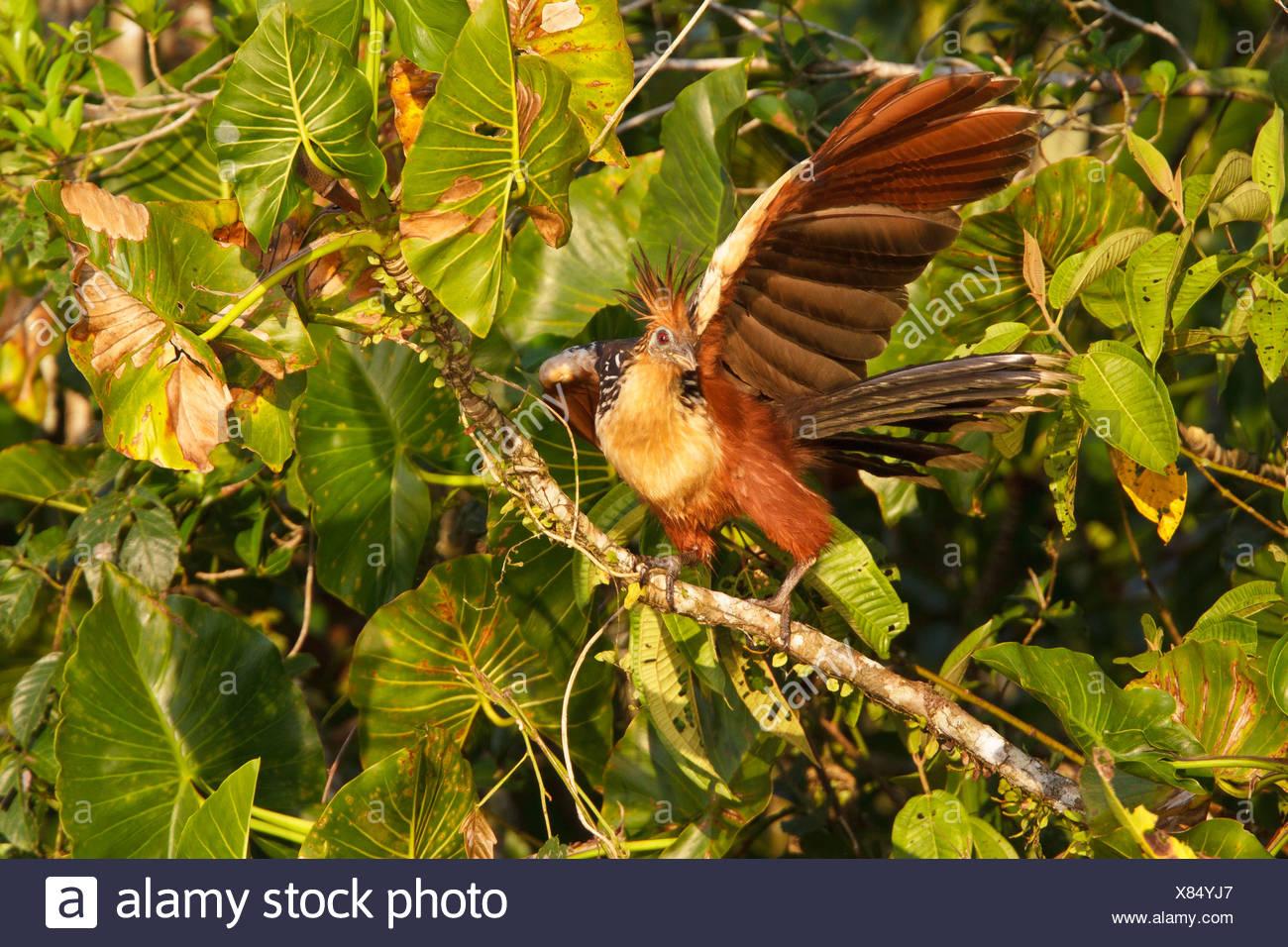 Hoatzin (Opisthocomus Hoazin) thront auf einem Ast in Ecuador. Stockbild
