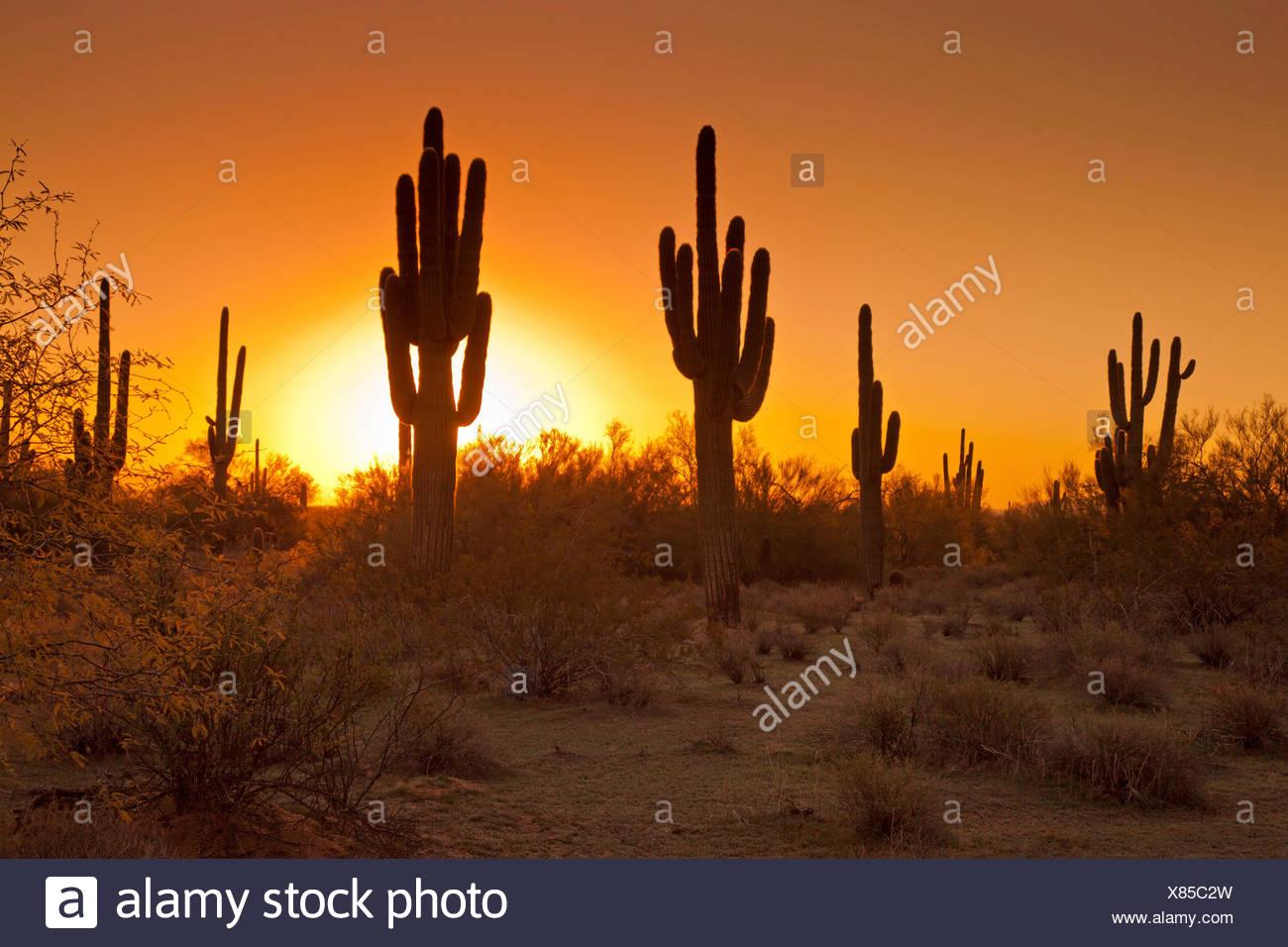 Saguaro-Kaktus (Carnegiea Gigantea, Cereus Giganteus), group bei Sonnenuntergang, USA, Arizona, Phoenix Stockfoto