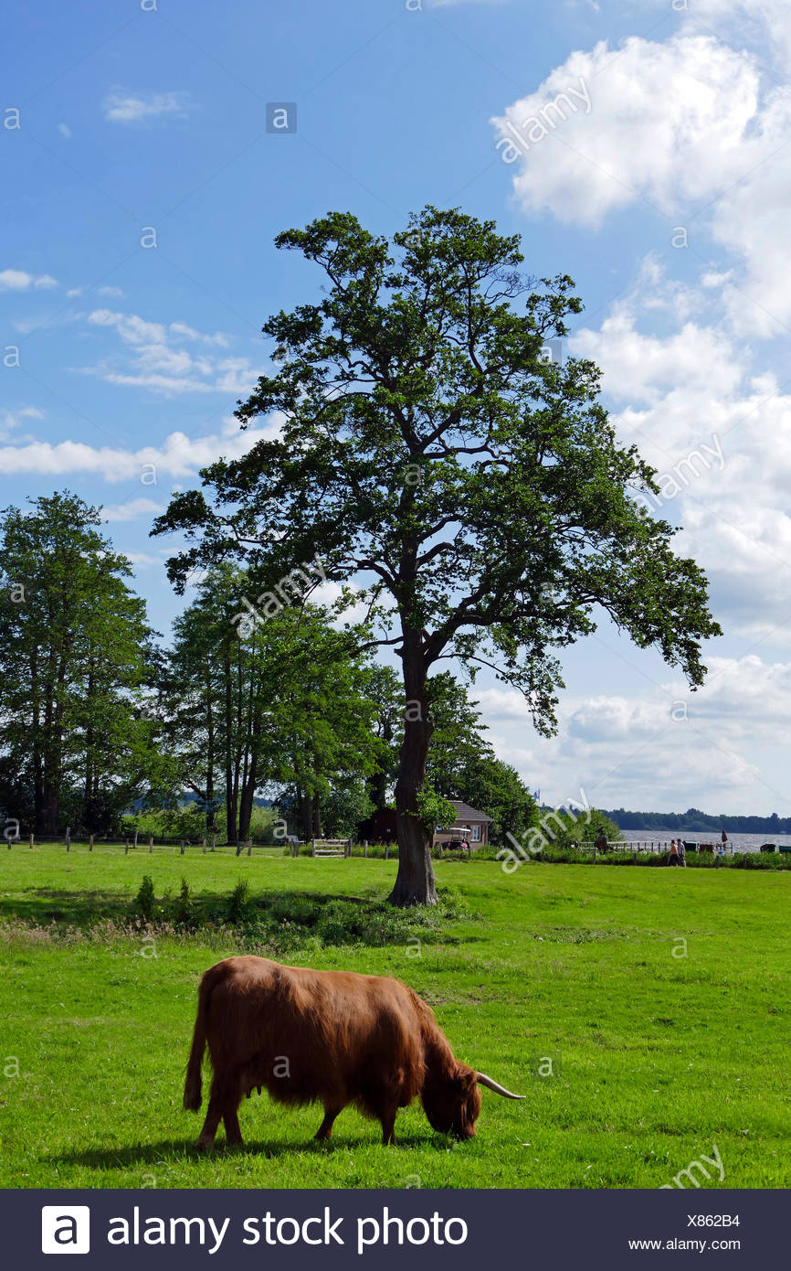 Schottische Hochlandrinder, Rutland (Bos Primigenius F. Taurus), auf einer Weide senken Zwischenahner Meer, Deutschland, Sachsen, Ammerland, Bad Zwischenahn Stockbild