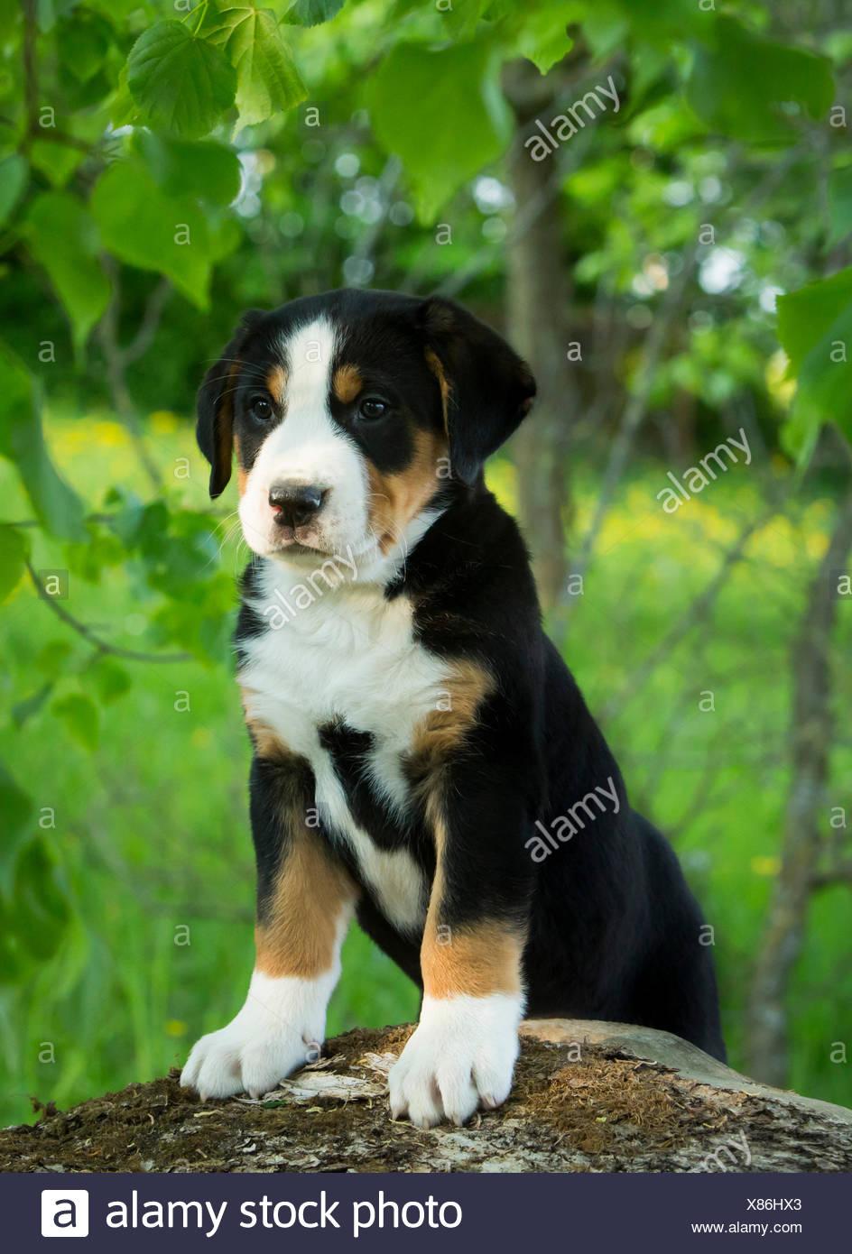 Mehr Schweizer Sennenhund Welpen Bayern Deutschland Stockfotografie Alamy