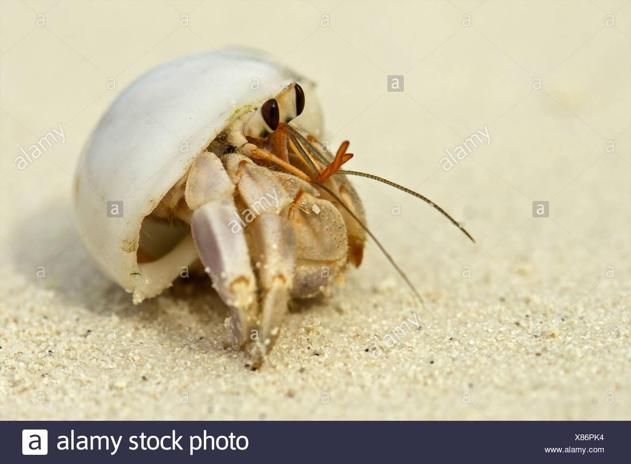 Einsiedlerkrebs in einer Shell, Malediven Stockbild