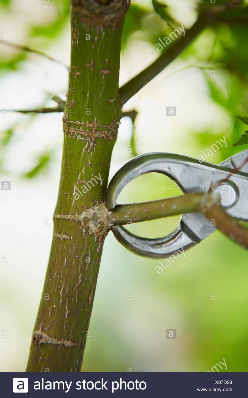Bonsai-Baum (Ahorn) entfernen Zweig Stockbild