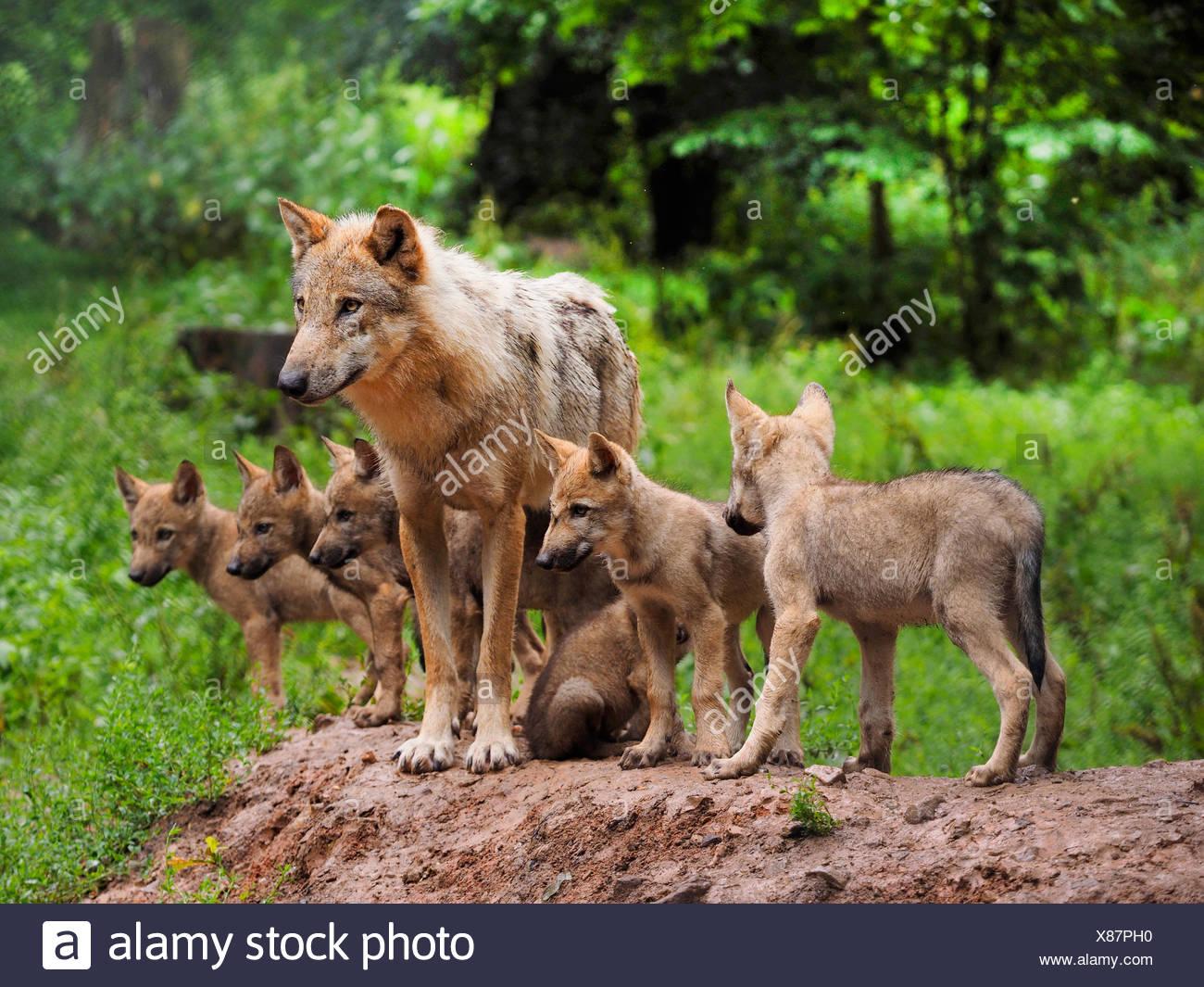 Europäische graue Wolf (Canis Lupus Lupus), Wolf mit Welpen, Deutschland, Bayern Stockbild