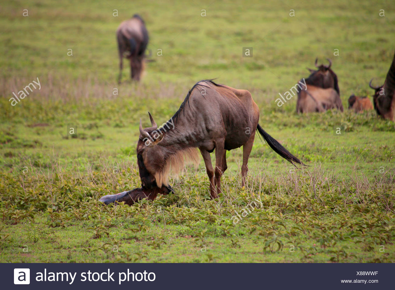 blaue Gnus, gestromt Gnu, weißen bärtigen Gnus (Connochaetes Taurinus), Mutter mit nur geboren, Tansania, Serengeti Nationalpark Stockbild