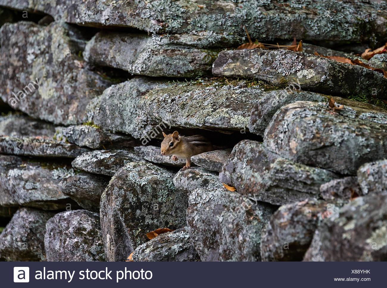 Streifenhörnchen versteckt sich in einer rustikalen Fildstone Wand, Vermont, USA Stockbild