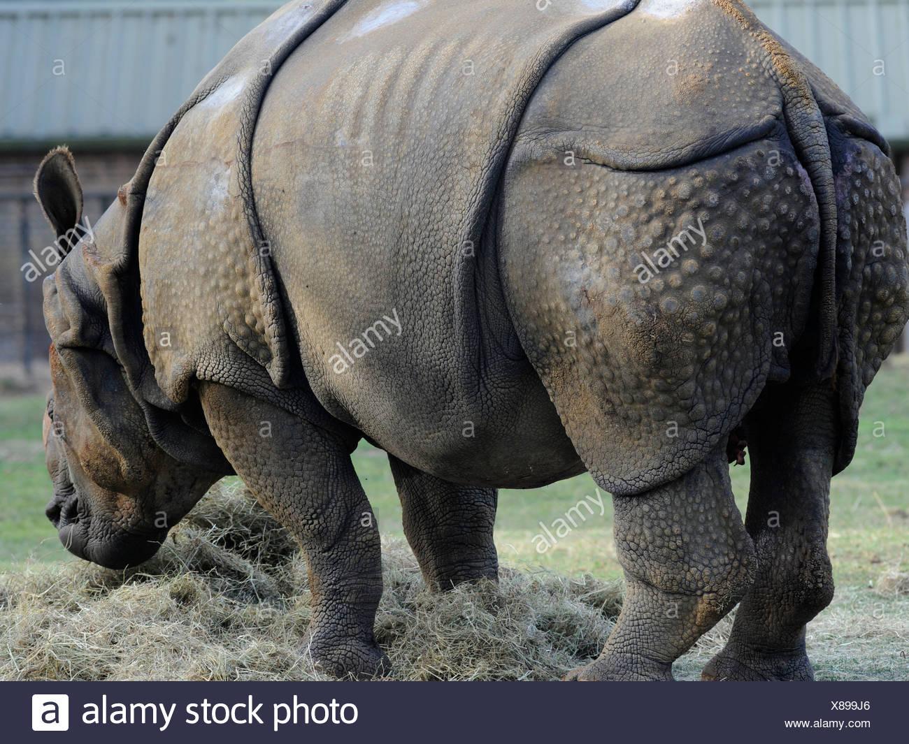 Ein Nashorn mit Lebensmitteln. Stockbild