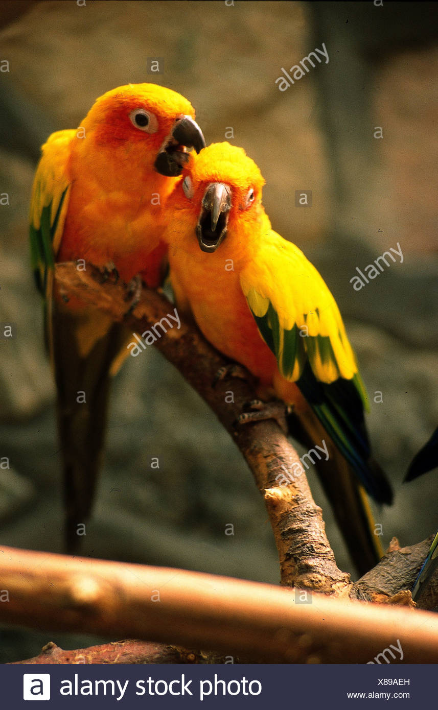 zoologie tiere vogel vogel sun sittich aratinga additional rights clearance info not available