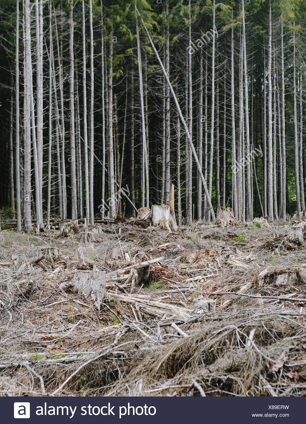 Vor kurzem scharf geschnittenen Regenwald, Hoh Rainforest, Olympische NF Stockbild
