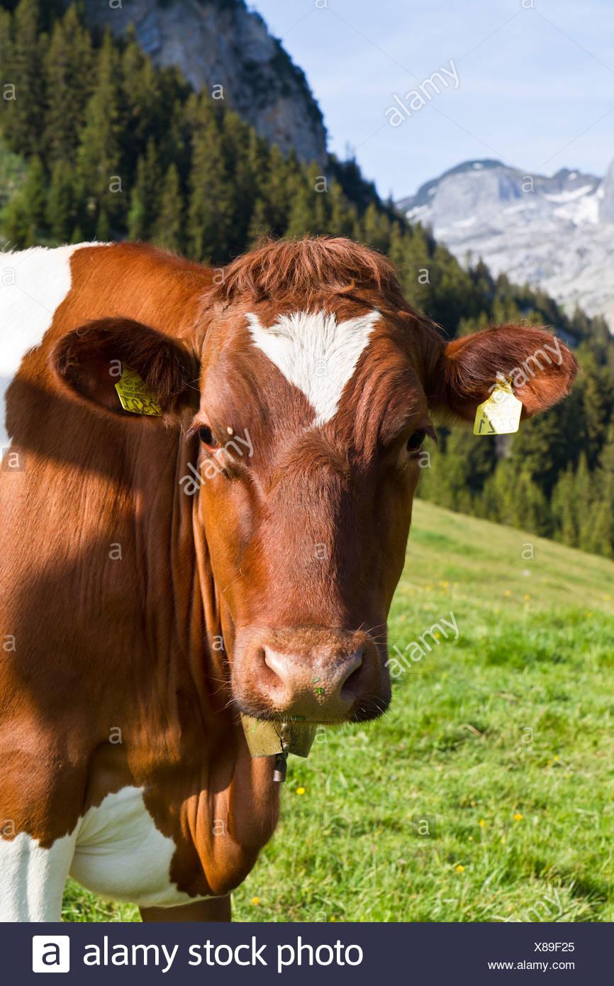 Kuh im Alpsteingebirge Berge, Kanton St. Gallen, Schweiz, Europa Stockbild