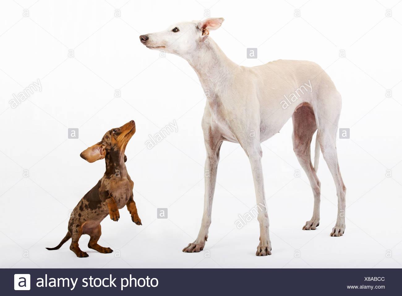 Trauerschnapper Kurze Haare Dackel Welpen Und Weisser Windhund