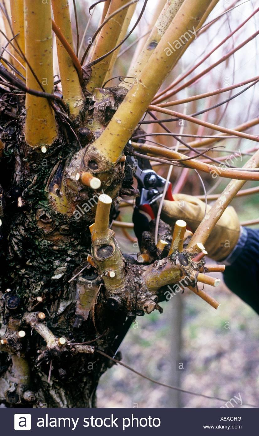 Beschneiden Rebschnitt Ein Weidenbaum Close Up Stockfoto Bild