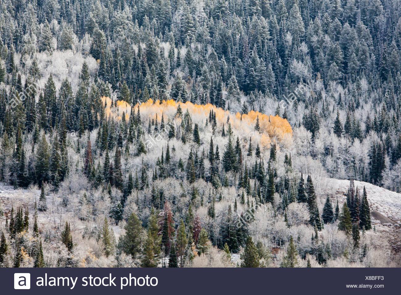 USA, USA, Amerika, Wyoming, Herbst, kalt, Kiefer, Holz, gelbe Blätter, Bäume, Schnee Stockbild
