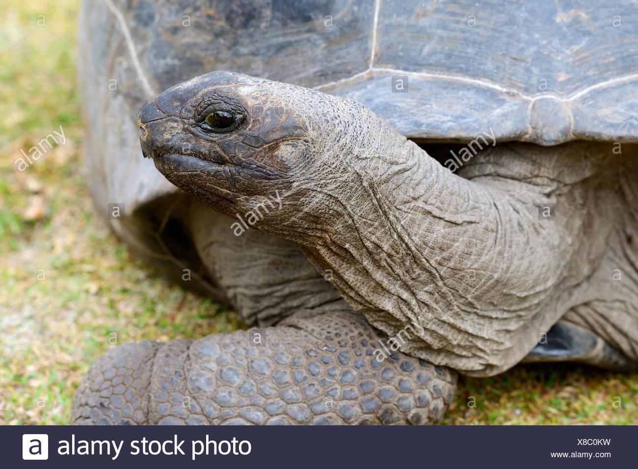 Aldabra-Riesenschildkroeten (Geochelone Gigantea), Endemisch, Insel Curieuse, Seychellen Stockbild